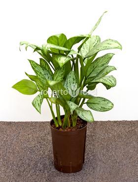 Aglaonema Christina 40 cm Planta intunericului