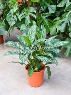 Aglaonema Green Lady 50 cm Planta intunericului