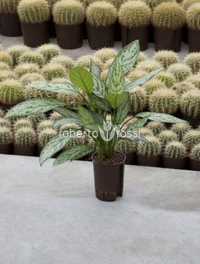 Aglaonema silver king 40 cm Planta intunericului