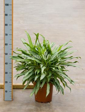 Aglaonema white lance 55 cm Planta intunericului