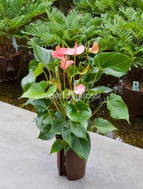 Anthurium champion 40 cm Planta Flamingo