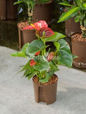 Anthurium sierra Planta Flamingo