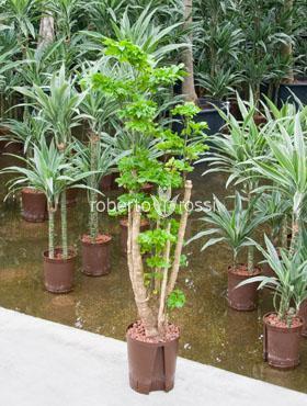 Aralia (polyscias) roble 130 cm Pui pipota