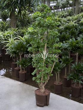 Aralia (polyscias) roble 170 cm Pui pipota