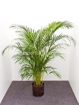 Areca (chrysalido) lutescens 130 cm