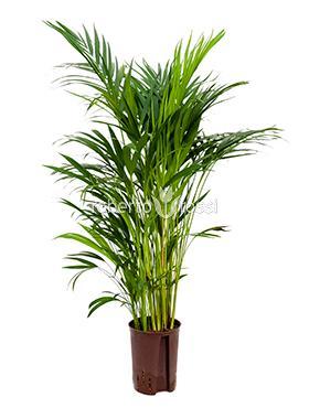 Areca (chrysalidocarpus) lutescens 65 cm Palmier fluture