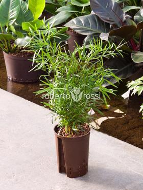 Asparagus falcatus 40 cm Imblekazana - Doringtou - Large Forest Sparanghel - Sicklethorn