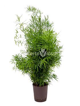 Asparagus falcatus 90 cm Imblekazana - Doringtou - Large Forest Sparanghel - Sicklethorn
