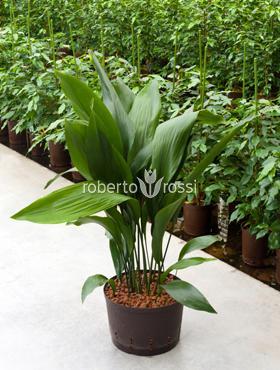 Aspidistra elatior 80 cm Pana cocosului - Planta de fier