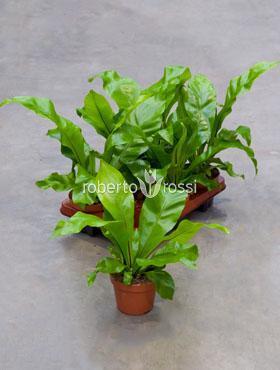 Asplenium nidus 35 cm Feriga