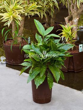 Aucuba japonica 40 cm Pomul de aur - Laur japonez - Laurul patat