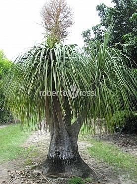 Beaucarnea recurvata (Nolina Recurvata) Clt 18 Piciorul elefantului - Palmier Coada de cal - Nolina