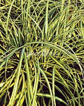 Carex morrowii Variegata 20-25 cm