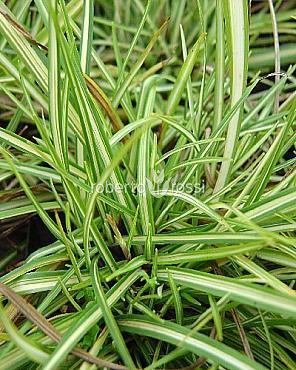 Carex ornithopoda Variegata 15-20 cm