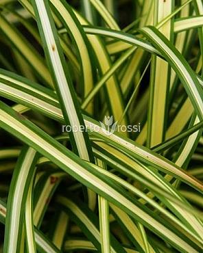 Carex oshimensis Evergold 15-20 cm