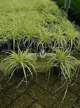 Carex oshimensis Evergold 25-30 cm
