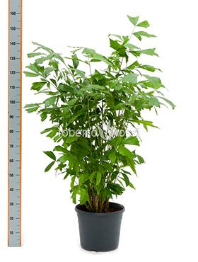 Caryota mitis 170 cm Palmier coada de peste