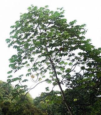 Cecropia peltata 475 cm Copac trompet� - Copac snakewood