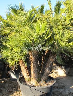 Chamaerops humilis 240 cm Palmier pitic - Palmier ventilator european