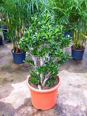 Crassula gollum 110 cm Copacul prieteniei - Planta norocoasa