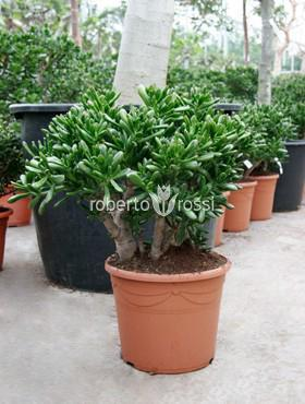 Crassula gollum 70 cm Copacul prieteniei - Planta norocoasa