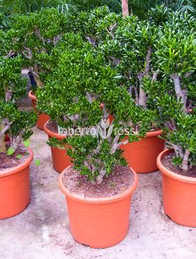 Crassula horntree 110 cm Planta norocoasa