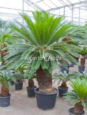 Cycas revoluta 190 cm Palmier Sago - Regele Sago