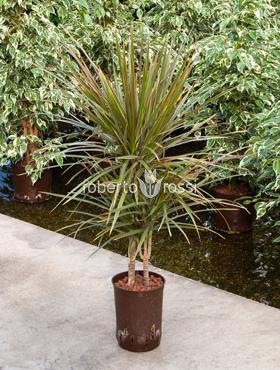 Dracaena bicolor 80 cm