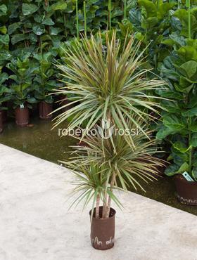 Dracaena bicolor 90 cm