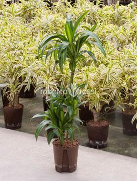 Dracaena hawaiian sunshine 110 cm