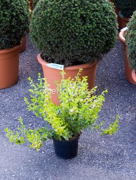 Euonymus fortunei emerald gold 40 cm