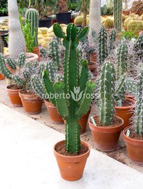 Euphorbia ingens 95 cm Copacul candelabru - Cactus copac