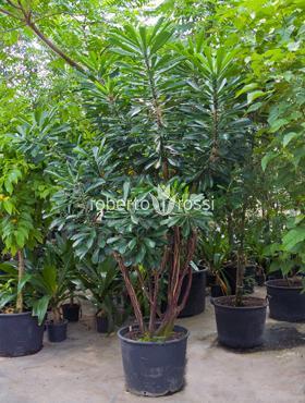 Euphorbia punicia 275 cm