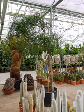 Euphorbia tirucalli 350 cm Planta creion - Euphorbia-cauciuc gard viu