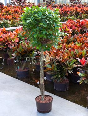 Ficus moclame 150 cm