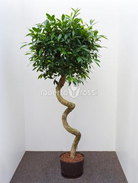 Ficus nitida 160 cm Laurel indian- Banyan chinez- Fig indian - Dafin indian
