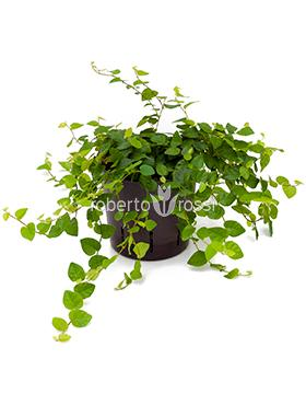 Ficus repens Fig tarator