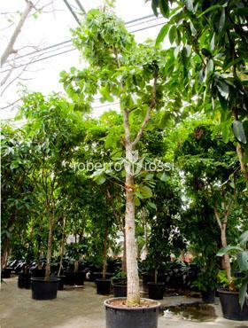 Jungle tree 850 cm