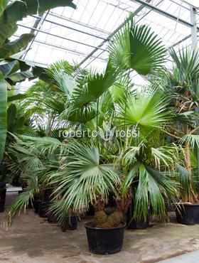 Livistona chinensis 325 cm