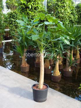 Schefflera amate 150 cm