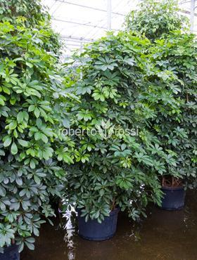 Schefflera arboricola 215 cm