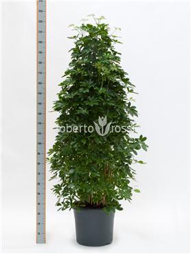 Schefflera arboricola 220 cm