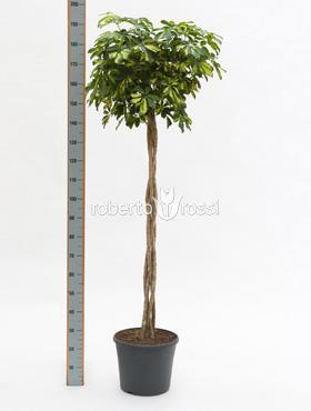Schefflera gold capella 180 cm