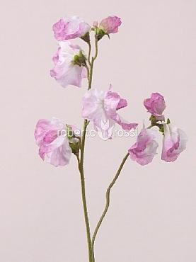 Sweet pea 40 cm Lathyrus