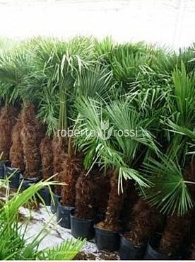 Trachycarpus fortunei 200-250 cm