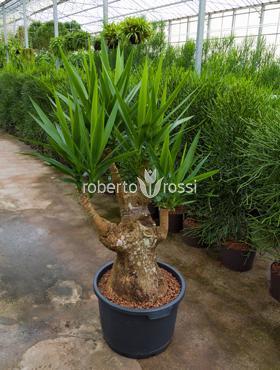 Yucca 150 cm