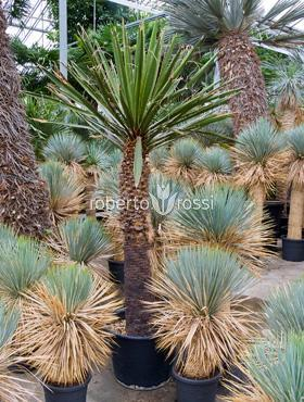 Yucca carnerosana 180 cm