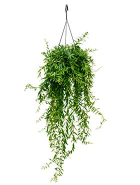 Aeschynanthus japhrolepis D30xH55 cm Planta ruj