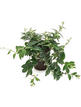 Aeschynanthus lobbianus variegata 53875 Planta ruj