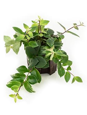 Aeschynanthus lobbianus variegata D15xH15 cm Planta ruj